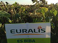 Семена подсолнечника БІБА (EURALIS SEMENCES)