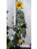 Семена подсолнечника Ясон (Шумейко)