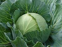 Семена капусты Украинская осень на вес
