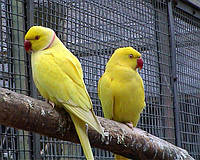 Ожереловый попугай жёлтый