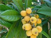 Мушмула японская, эриоботрия японская или локва, по-латыни называемая Eriobotrya japonica — это представительн