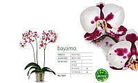 Подростки орхидеи. Сорт Bayamo