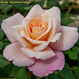 Роза Laetitia Casta (Летиция Каста), фото 3