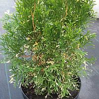 Туя западная (Thuja occidentalis) высота 50-70 см. ширина 30-40 см. (С- 5,7)