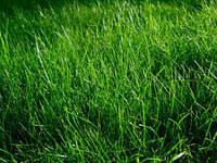 Семена Газонная трава Овсяница тростниковая 5 кг Украина