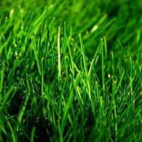 Семена Газонная трава Овсяница красная 5 кг Украина