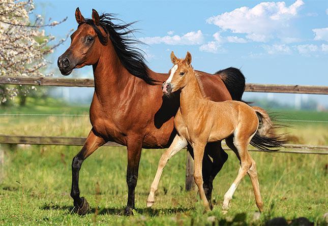 Пазлы Castorland Лошадь и жеребенок, 260 элементов