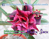 Адениум семена Black Jack