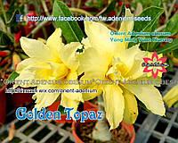 Адениум семена Golden Topaz