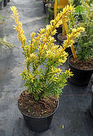 Тис ягодный - Taxus baccata Summergold (высота 30-40 см, горшок 3л)