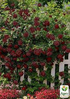 """Роза плетистая """"Черный принц"""""""