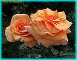 Роза Paco Rabanne (Пако Рабанне), фото 2