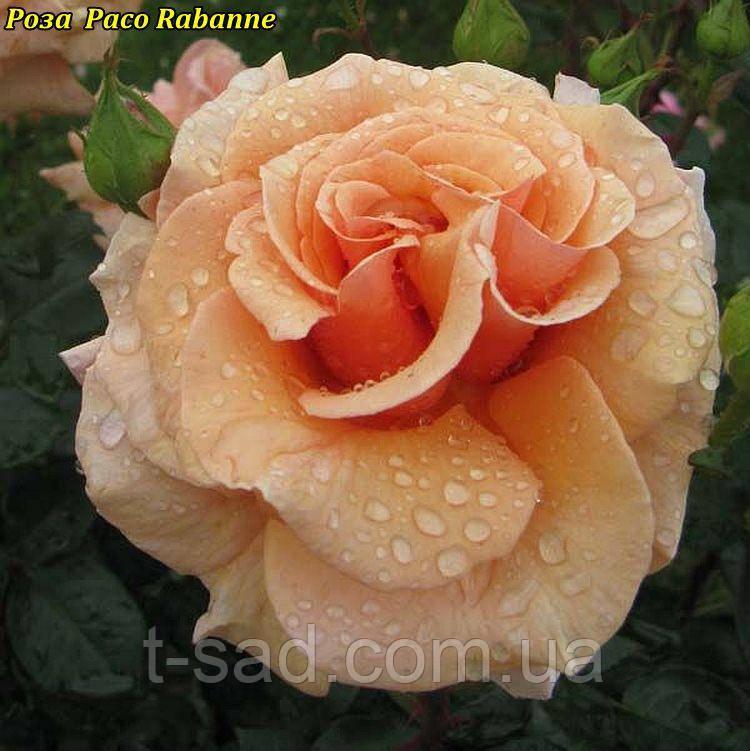 Роза Paco Rabanne (Пако Рабанне)
