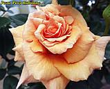 Роза Paco Rabanne (Пако Рабанне), фото 3