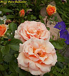 Роза Paco Rabanne (Пако Рабанне), фото 4
