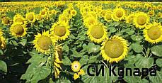 Семена подсолнечника СИ Купава Syngenta, фото 3