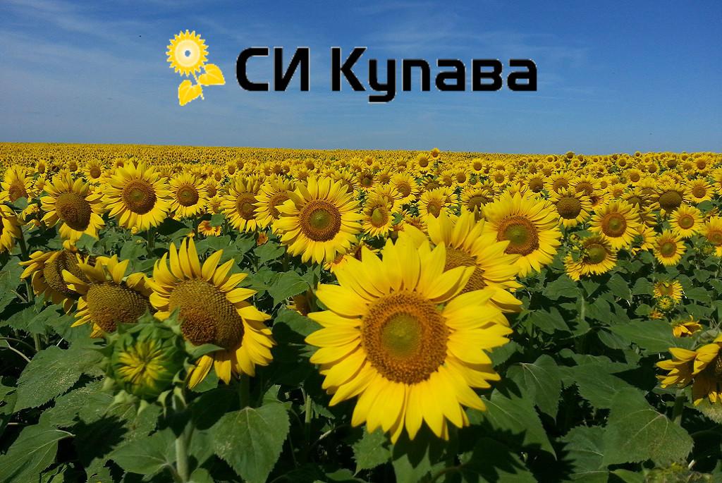 Семена подсолнечника СИ Купава Syngenta