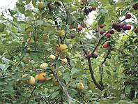 Правильная прививка плодовых деревьев весной. Окулировка груши и яблони