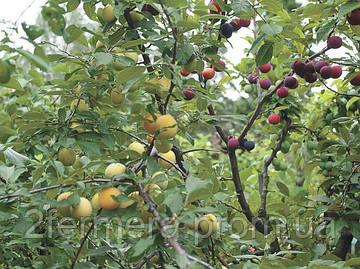 Правильная прививка плодовых деревьев и лучшие способы окулировки