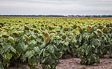 Семена подсолнечника ЛГ5542 КЛ Лимагрейн, фото 3
