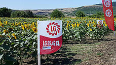 Семена подсолнечника ЛГ5542 КЛ Лимагрейн, фото 2