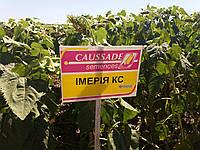 Купить семена подсолнечника ИМЕРИЯ КС под ЕвроЛайтнинг, Цена на гибрид ИМЕРИЯ по Украине.