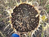 Семена подсолнечника ЧАРОДЕЙ, Высокоурожайный, 106 дней, Олейновый, Стандарт