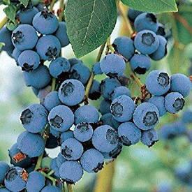 Лохина високоросла Bluecrop 2 річна (середньопізній сорт), Голубика высокорослая Блюкроп, Vaccinium Bluecrop