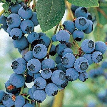 Лохина високоросла Bluecrop 2 річна (середньопізній сорт), Голубика высокорослая Блюкроп, Vaccinium Bluecrop, фото 2