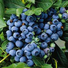 Лохина високоросла Bluecrop 2 річна (середньопізній сорт), Голубика высокорослая Блюкроп, Vaccinium Bluecrop, фото 3