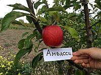 Саженец яблони Амбасси(Франция)