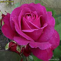 Роза Parole (Пароль)