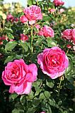 Роза Parole (Пароль), фото 6