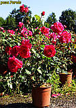 Роза Parole (Пароль), фото 7