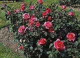 Роза Parole (Пароль), фото 5