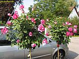 Роза Parole (Пароль), фото 3