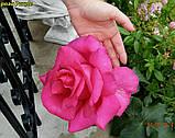 Роза Parole (Пароль), фото 4