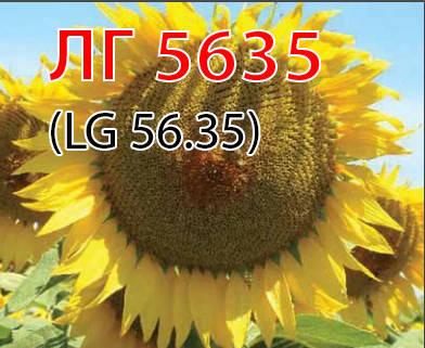 Семена подсолнуха ЛГ5635 Лимагрейн, фото 2