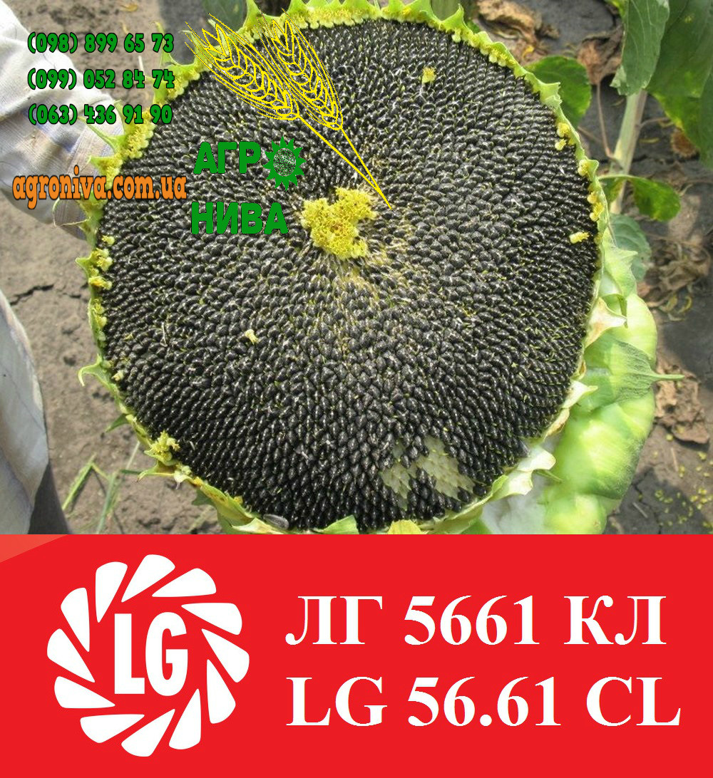 Семена подсолнечника LG 56.61 CL Лимагрейн