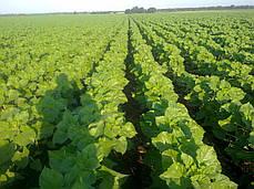 Семена подсолнечника LG 56.61 CL Лимагрейн, фото 3