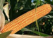 Семена кукурузы ЕС Битл  ФАО 240, 120 ц/га,. Евралис Семанс  / Украина, фото 1