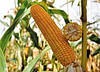 Семена кукурузы ЕС Кубус  ФАО 310, Зерно / Силос, 140 ц/га,  Евралис Семанс  / Украина