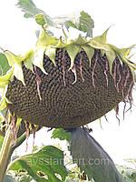Семена подсолнечника ЛГ 5550. Устойчив к семи расам заразихи А-G Лимагрейн / Франция 2016 г. 69 грам / 1000 шт
