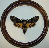 Сувенир - Бабочка в рамке Acherontia atropos. Оригинальный и неповторимый подарок!