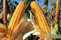 Семена кукурузы ЛЮБАВА 279 МВ, ФАО 270, Урожайность 12,0-12,5 т/га,  Институт сельского хозяйства