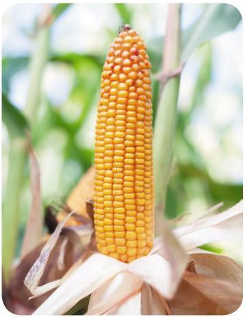 Семена кукурузы БЕЙМ ФАО 230-240. Высокоурожайный, 130ц/га. Оригинатор HR SMOLICE(Польша) , фото 1