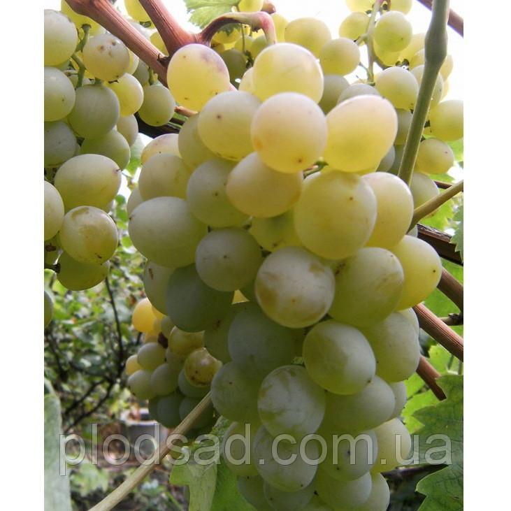Виноград Кишмиш Лучия