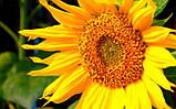 Гібрид соняшнику СЛАВСОН, ранній, Високоврожайний і Посухостійкий, Екстра, фото 2