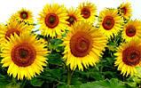 Гібрид соняшнику СЛАВСОН, ранній, Високоврожайний і Посухостійкий, Екстра, фото 3