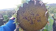 Насіння соняшнику ГУСЛЯР. Високоврожайний соняшник, Купити стійкий до посухи та вовчка гібрид ГУСЛЯР